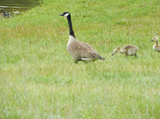 Lake Wilderness, VA goose and babies