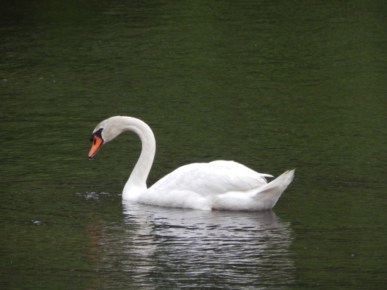 Lake Wilderness, Virginia single swan